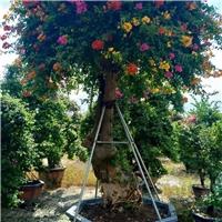 农户基地直销种植绿化景观树多色三角梅厂