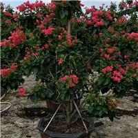 农户基地直销种植绿化景观树多色三角梅