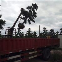 产地直销大型景观树造型树罗汉松厂