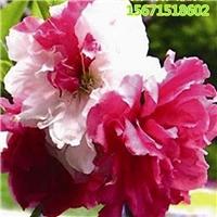 寿星桃树多少钱一棵 寿星桃树多少钱一棵 厂