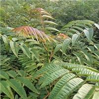 大棚香椿苗用种植两年的红油香椿苗