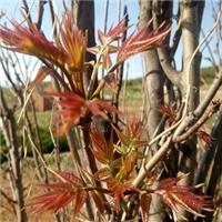 大棚香椿苗用种植两年的红油香椿苗厂