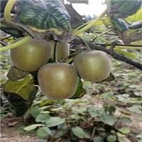 红阳猕猴桃新品种的红心猕猴桃北方种植厂