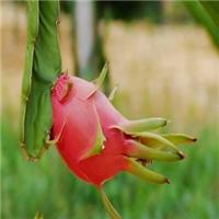 北方种植的火龙果苗啥价格一棵厂