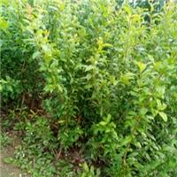 软子石榴苗抗冻好的品种红如意石榴苗