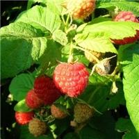 树莓苗红树莓黑树莓品种多厂