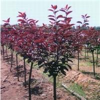 红叶李也叫太阳李大红的叶子鲜艳亮丽