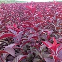 红叶李也叫太阳李大红的叶子鲜艳亮丽厂