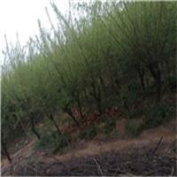 6公分的榆叶梅又名小桃红开得像梅花厂