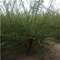 6公分的榆叶梅又名小桃红开得像梅花