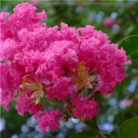 百日红的花色品种多美国红火箭紫薇漂亮厂