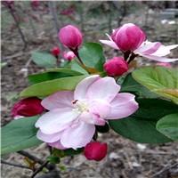 北美海棠品种多亚当海棠花红冬红果大厂