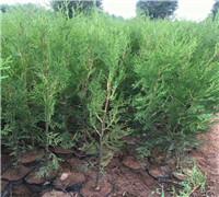 营养钵侧柏苗种植成活率高