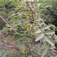 无刺花椒苗新品种是嫁接苗长得快坐果率高厂