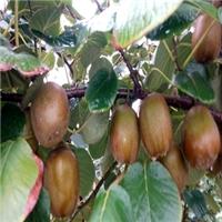 黄心的猕猴桃苗种植基地在河南多厂