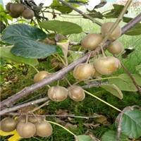 猕猴桃品种秦香海沃德市场价格一直平稳