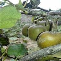 猕猴桃品种秦香海沃德市场价格一直平稳厂