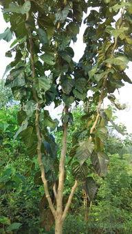 龙桑基地种植3-6厘米龙桑1000棵