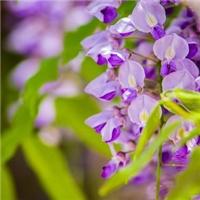 5厘米的紫藤蜿蜒盘旋像条花龙腾飞厂