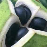 文冠果既能绿化又能出油的经济林树种