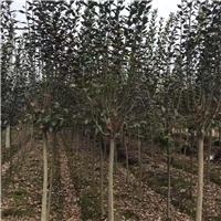 四川成都四川优质精品垂丝海棠 庭院绿化