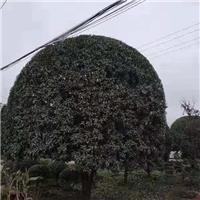 成都桂花树价格低价处理