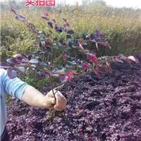 红花继木苗100万供应、产地直销