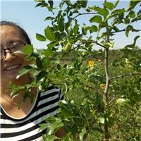 批发各种冬枣和梨枣树苗