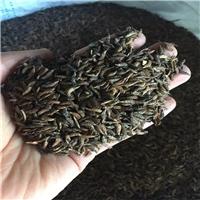 绿化批发 紫穗槐种子 优质灌木护坡固土