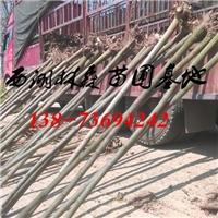 栾树基地价格|3公分-4公分-5公分栾树价格