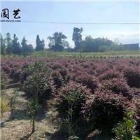 四川成都四川优质精品红花继木球 庭院绿化