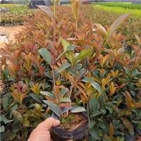 直销供应高成活率精品绿化苗木红叶石楠厂