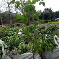 基地特价供应造型好看特色灌木黄花双荚槐