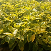 大量批发供应园林景观常绿地被金边假连翘厂
