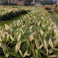 广东苗木种植基地大量供应优质植物梦幻朱焦
