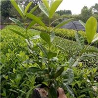 基地直销阳台桌面盆栽观赏植物五彩仙丹厂