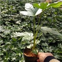 湖南基地大量供应优质地被植物八角金盘厂