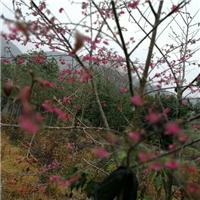 福建特色行道观花风景树福建山樱花