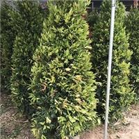 苗木种植基地供应鸿运当头绿植红车柱型