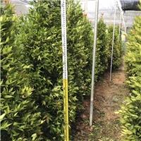 苗木种植基地供应鸿运当头绿植红车柱型厂