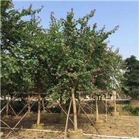 长期批发供应工程绿化景观树红花紫荆厂