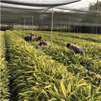 自产自销优质园林绿化地被苗花叶良姜地苗厂