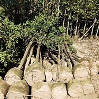 特价供应精品工程景观绿化树黄花风铃木