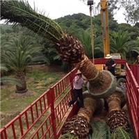 直销供应热带造型风景树加拿利海枣