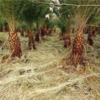 直销供应热带造型风景树加拿利海枣厂