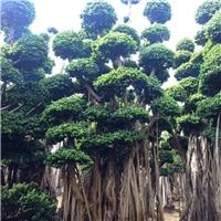 苗木种植基地供应大型景观树造型小叶榕厂