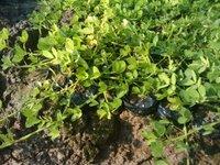 优质特色观叶绿化地被植物遍地黄金