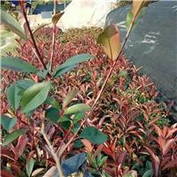基地大量供应市政绿化苗木红叶石楠