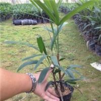 自产自销可盆栽地栽绿化植物细叶棕竹