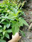 沐阳基地大量供应优质常绿灌木大花芦莉厂